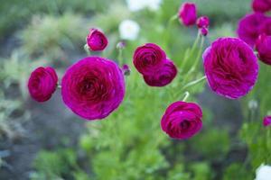 fundo de rosas cor de rosa com hastes verdes foto