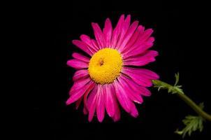 Margarida rosa em preto. foto