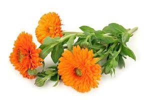 calendula officinalis laranja com hastes verdes de brotamento