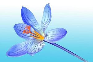açafrão da primavera foto