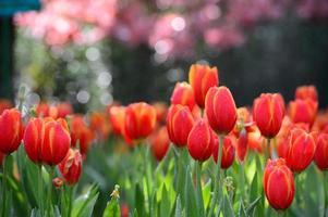 campo de tulipa vermelha foto