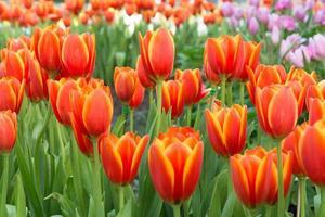 tulipas coloridas e outras flores no parque real rajapruek. foto