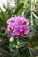 bela orquídea roxa na Tailândia foto