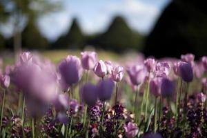 tulipas cor de rosa com profundidade de campo