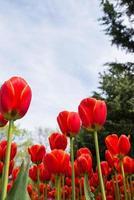 tulipas no jardim. flores em laranja foto
