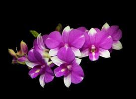 orquídeas brancas roxas do dendrobium foto