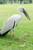 pilican branco é uma doença no parque. foto