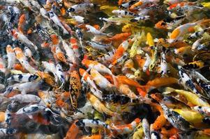 peixes koi nadando em uma lagoa foto