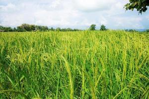 uma vista de campo de arroz crescente em dia nublado e quente na Tailândia foto
