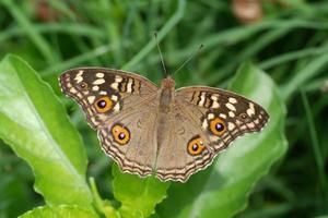 a borboleta pansy de limão foto