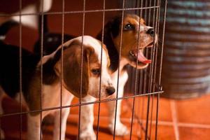 filhotes de beagle em uma gaiola foto