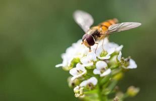 abelha a um alyssum doce de flores brancas (lobularia maritima) foto