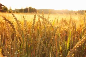 espigas de trigo maduro no campo como pano de fundo foto