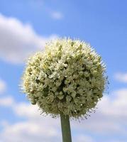 flores de cebola foto