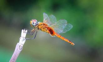 libélula laranja empoleirada no galho eram floresta verde foto
