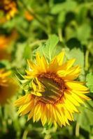 girassol amarelo no sol brilhante em um campo de girassóis. foto