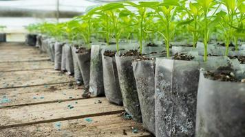 pequenas plantas de pimenta em estufa para transplante foto