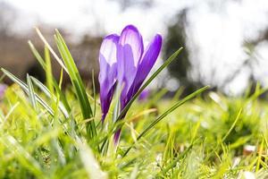 primavera fresco açafrão violeta, luxemburgo