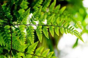 samambaia verde foto