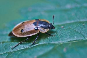 besouro da floresta. foto