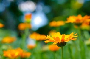 calêndula laranja foto