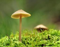 cogumelo na macro de musgo foto