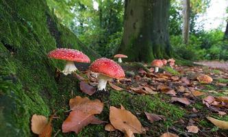 cogumelos na floresta foto