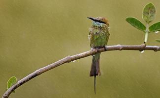 pequeno comedor de abelha verde na chuva foto