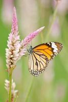 borboleta laranja em flor foto