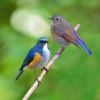 pássaro do bluetail do himalaia