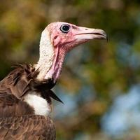 abutre com capuz foto