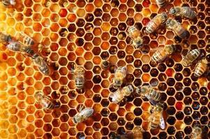 trabalhador abelhas no favo de mel no apiário foto