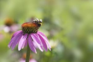 coneflower roxo, echinacea purpurea, com uma abelha