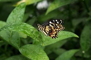 borboleta lacewing lançada em uma folha foto