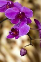 cabeças de orquídea roxas foto