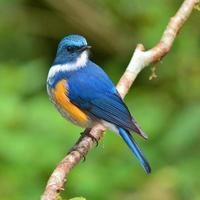 pássaro do bluetail do himalaia foto