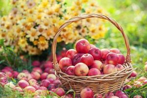cesta com maçãs vermelhas na grama foto