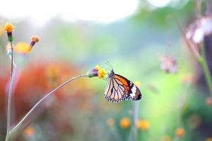 ิ borboleta foto