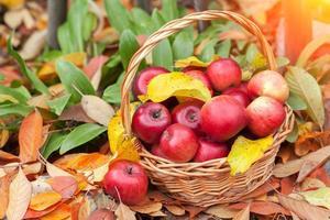 cesta com maçãs nas folhas caídas foto