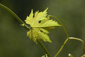 folhas de videira no fundo desfocado foto