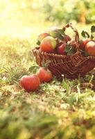 maçãs orgânicas na grama de verão foto