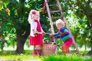 crianças colhendo cereja em um jardim de fazenda de frutas foto