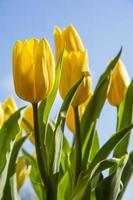 tulipas amarelas foto