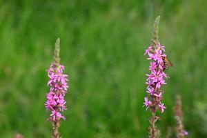 flores de lythrum salicaria foto
