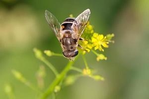 insetos diptera syrphidae foto