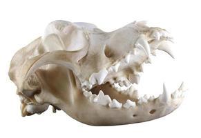 crânio de cão de São Bernardo isolado em um fundo branco foto