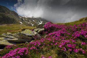 cenário alpino e flores de rododendro rosa