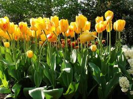 flores tulipa na luz do dia de primavera foto