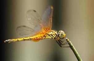 a libélula amarela