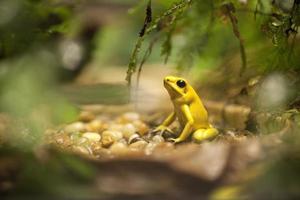 sapo venenoso dourado - phyllobates terribilis foto